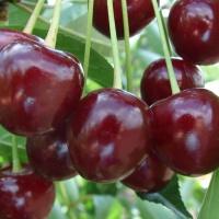 Саженец вишни Лотовка
