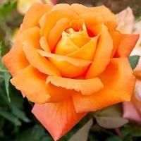 Саженцы роз чайно-гибридные Фюнес (закрытая к / с)