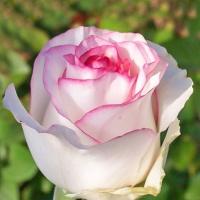 Саженцы роз чайно-гибридные Дольче Вита (закрытая к / с)