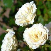 Саженцы роз спрей Белая (закрытая к / с)
