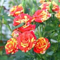 Саженцы роз спрей Флеш Фаер (закрытая к / с)