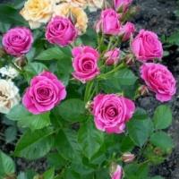 Саженцы роз спрей Лидия (закрытая к / с)