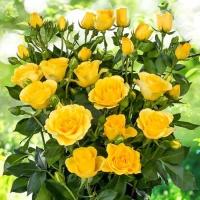 Саженцы роз спрей Желтая (закрытая к / с)