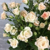 Саженцы роз спрей Крем (закрытая к / с)