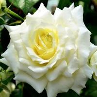 Саженцы роз плетистые Эльф (закрытая к / с)