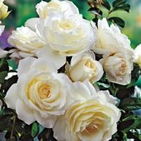 Саженцы роз плетистые Монблан (закрытая к / с)
