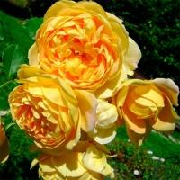 Саженцы роз английские Голден Селебрейшен (закрытая к / с)