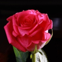 Саджанці троянд чайно-гібридні Марина (закрита к/с)