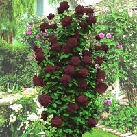 Саженцы роз плетистые Черная Королева (закрытая к / с)